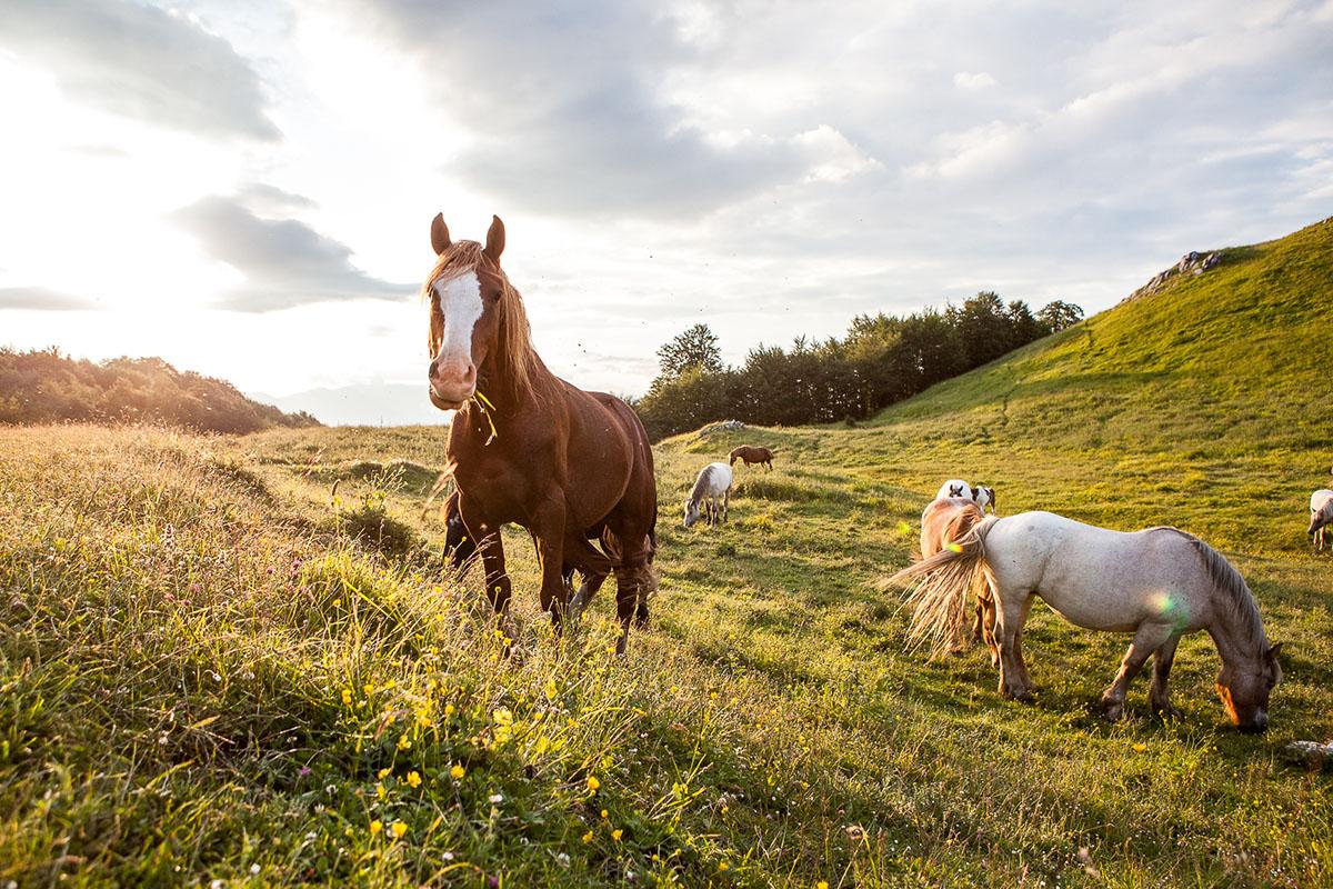 Abruzzo_horse